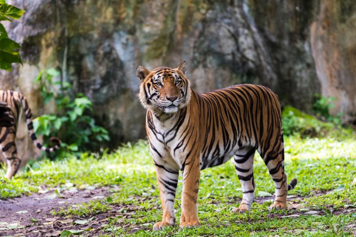 Harimau Serang Wisatawan di Pagaralam