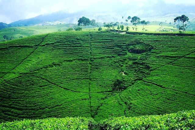 kebun teh